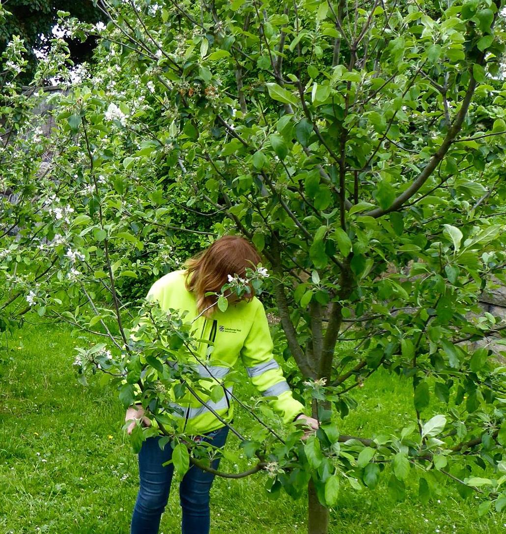 Apple Orchard in Majorna